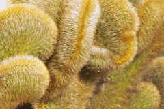 Planta de la cresta del cactus imagen de archivo