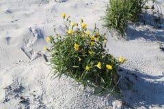 planta de la duna Fotos de archivo libres de regalías