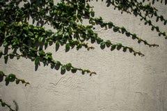 Planta de la enredadera en una pared blanca Imagen de archivo