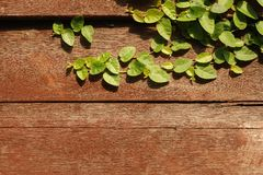 Planta de la enredadera de los procumbens de Tridax en de madera Imagenes de archivo