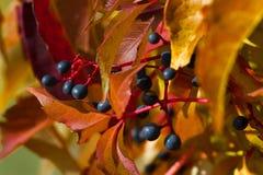 Planta de la enredadera de Virginia frutas Cinco-con hojas de la hiedra Deja el fondo Fotografía de archivo libre de regalías