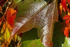 Planta de la enredadera de Virginia frutas Cinco-con hojas de la hiedra Deja el fondo Imagenes de archivo