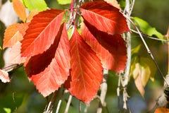 Planta de la enredadera de Virginia frutas Cinco-con hojas de la hiedra Deja el fondo Imagen de archivo