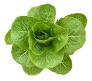Planta de la ensalada en el fondo blanco Fotos de archivo