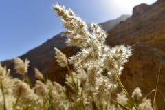 Planta de la espadaña en el desierto de Judea fotos de archivo