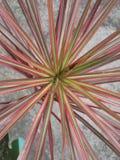 Planta de la estrella Fotos de archivo libres de regalías