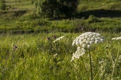 Planta de la flor blanca Imagenes de archivo