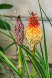 Planta de la flor del póker candente - Kniphofia coloreado ardiente Imagenes de archivo