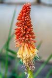 Planta de la flor del póker candente - Kniphofia coloreado ardiente Imágenes de archivo libres de regalías