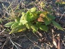 planta de la frambuesa en otoño imagen de archivo