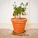 Planta de la fruta cítrica Imagen de archivo