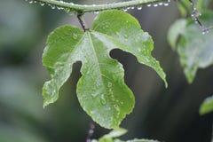 Planta de la fruta de la pasión con gota de lluvia Imagen de archivo libre de regalías