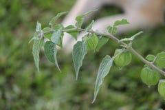 Planta de la grosella espinosa Imagen de archivo