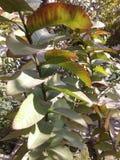 Planta de la guayaba Foto de archivo