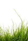 Planta de la hierba Fotos de archivo libres de regalías