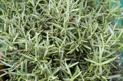 Planta de la hierba de Rosemary Fotografía de archivo