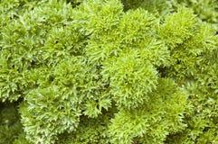 Planta de la hierba del perejil (crispum del Petroselinum) Imagenes de archivo