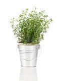 Planta de la hierba del tomillo que crece en un pote apenado del estaño fotos de archivo libres de regalías
