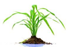 Planta de la hierba verde Foto de archivo