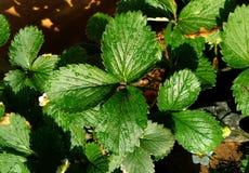 Planta de la hoja de la fresa Foto de archivo