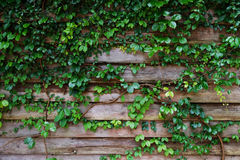 Planta de la hoja sobre el fondo de madera de la cerca Fotos de archivo