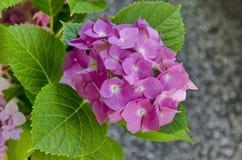 Planta de la hortensia o flor rosada múltiple del hortensia con las hojas en el jardín, Sofía Fotos de archivo libres de regalías