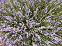 Planta de la lavanda, flores, vistas de gastos indirectos Foto de archivo