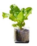 Planta de la lechuga que crece en botella plástica reciclada Foto de archivo libre de regalías