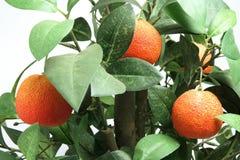 Planta de la mandarina Fotografía de archivo libre de regalías