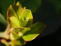 Planta de la manzana de cangrejo o apenas crabapple como es calone de éstos para un estallido pródigo de blanco, rosado, o flores Fotos de archivo