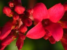 Planta de la manzana de cangrejo o apenas crabapple como es calone de éstos para un estallido pródigo de blanco, rosado, o flores Fotografía de archivo libre de regalías