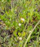 Planta de la manzana del Gopher y x28; Michauxii& x29 de Licani; Foto de archivo