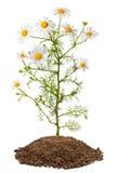 Planta de la manzanilla (Matricaria Chamomilla) Imagen de archivo libre de regalías