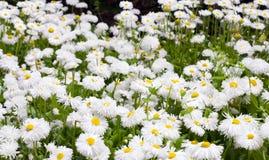 Planta de la margarita Fotos de archivo