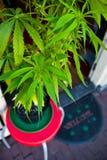 Planta de la marijuana Fotografía de archivo libre de regalías