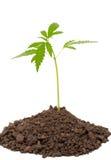 Planta de la marijuana Fotos de archivo libres de regalías
