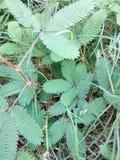 Planta de la medicina del pudica de la mimosa Foto de archivo libre de regalías