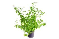 Planta de la menta fresca en la maceta aislada en blanco Foto de archivo