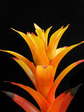 Planta de la naranja de la bromelia fotografía de archivo