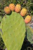 Planta de la Opuntia Fotografía de archivo
