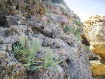 Planta de la orilla de mar del maritimum de la roca Samphire - de Crithmum Planta de Kritamos que crece en las rocas imagen de archivo libre de regalías