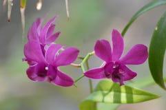 Planta de la orquídea Fotografía de archivo