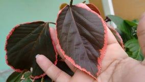 Planta de la púrpura de Acalifa Imagen de archivo