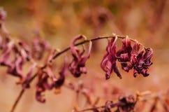 Planta de la púrpura del otoño Imagen de archivo