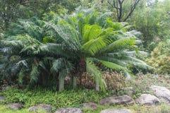 Planta de la palma del Cycad Fotos de archivo libres de regalías