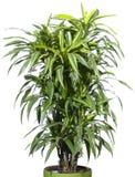 Planta de la palma en la maceta aislada en blanco Imagen de archivo libre de regalías