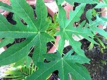 Planta de la papaya Fotografía de archivo