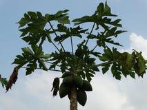 Planta de la papaya fotos de archivo