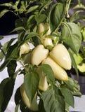 Planta de la pimienta Imagen de archivo