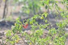 Planta de la pimienta de chile caliente Imagenes de archivo